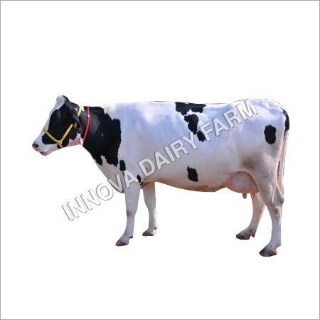 HF White Cow