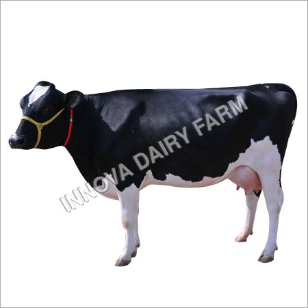 Black And White Hf Cow