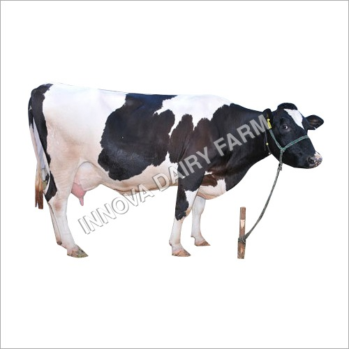 Best Quality HF Cow