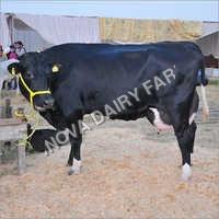 HF Heifer Cow