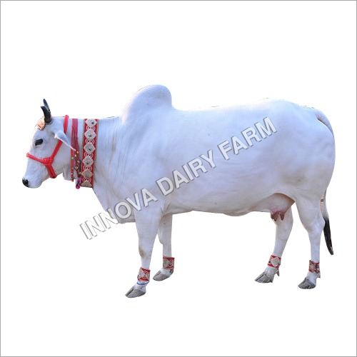 White & Black Indigenous Cow