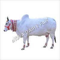 White & Black Indigenous Cow