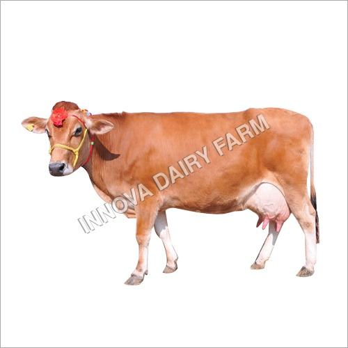 Milking Jersey Cow