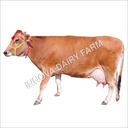 Dairy Jersey Cow