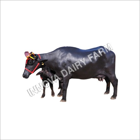 High Grade Murrah Buffalo