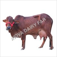 Hf Sahiwal Cow