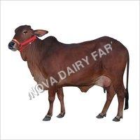 Milking Sahiwal Cow