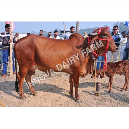 Sahiwal Cows
