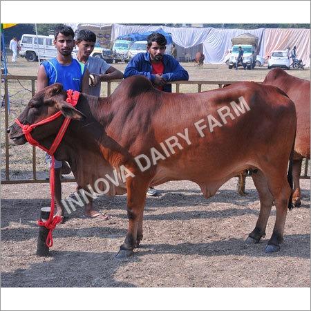 Heifer Sahiwal Cow