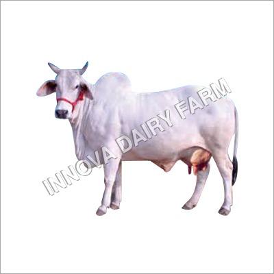 Tharparkar Breed Cow