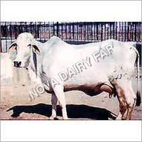 Tharparkar White Cows