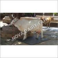 Tharparkar Cows