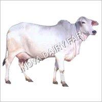 Livestock Tharparkar Cows