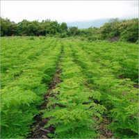 Commercial Farming Drum Stick