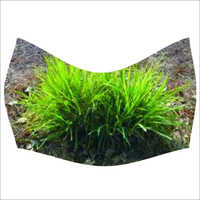 Palmarosa Grass Plant