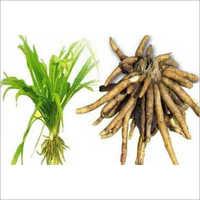 Safed Musli Plants