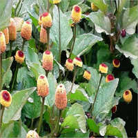 Akarkara Plant