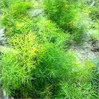 Nepali Shatavari Plants