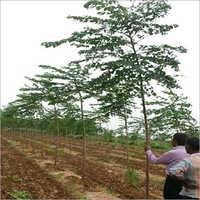 Malabar Neem Plants