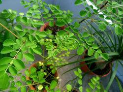Moringa Seed Extract 10% Saponins