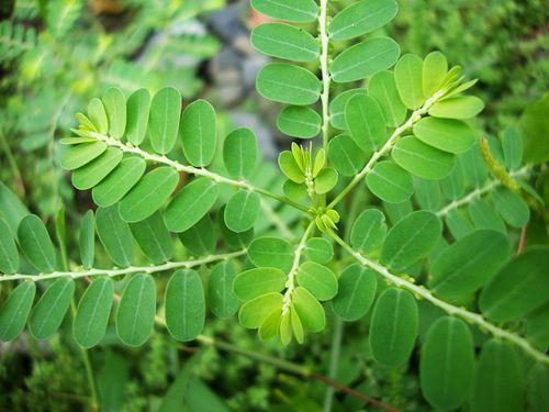 Bhumi Amla Herbal Extract