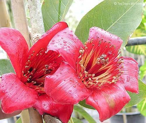 Mochrus ( Salmalia Malabarica)