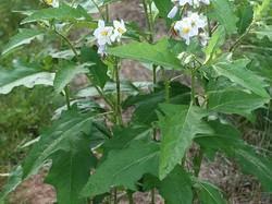 Makoy Dana, Solanum Nigrum