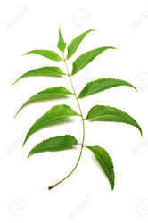 Neem Leaves Azadirachta Indica