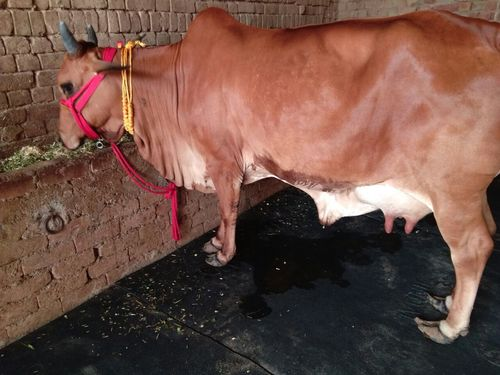 Sahiwal Breed Cow