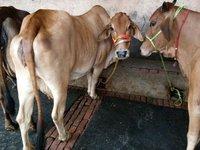 sahiwal cow, hf cow, jersey cow