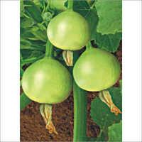 Hybrid Summer Squash Seed