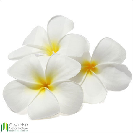 Frangipani Absolute Oil