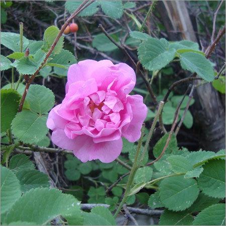 Rose Otto Bulgarian