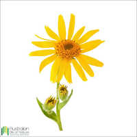 Arnica Infused (Carrier) Oil