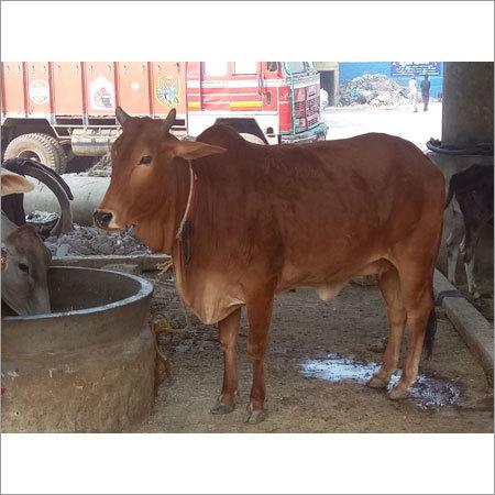 Haryana Sahiwal Cows