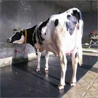 Milking HF Cows