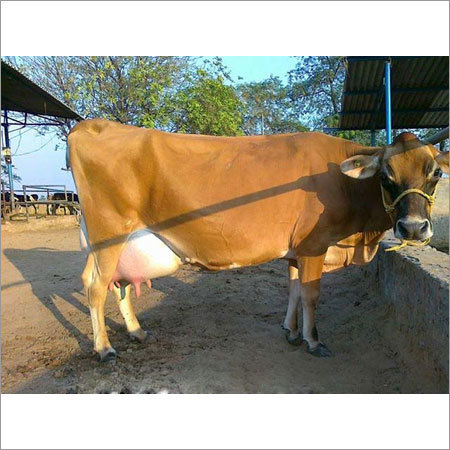 Red Jersey Cow