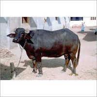 Haryana Buffalo