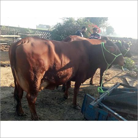 Red Sahiwal Cow