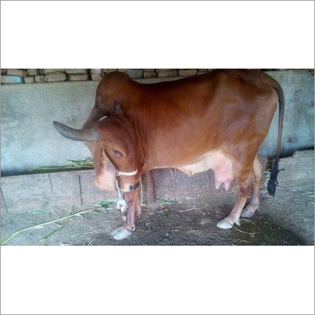 Livestock Sahiwal Cow
