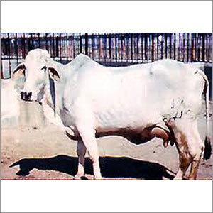 Pure Tharparkar Cow