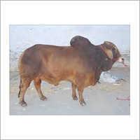 Livestock Sahiwal Bull