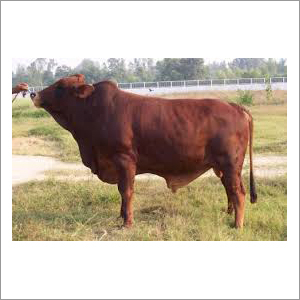 Indian Sahiwal Bull