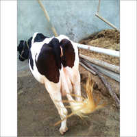 Breed HF Cow