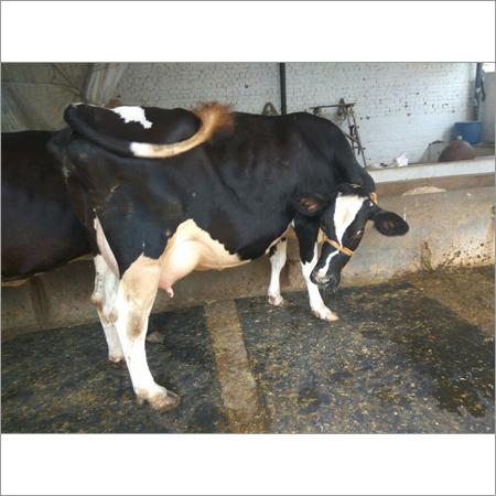 HF Cows