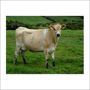 Miniature Jersey Cows