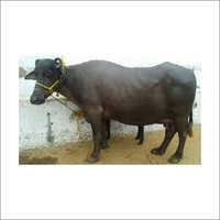Haryana Black Buffalo