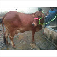 Sahiwal Dairy Cow