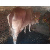 High Quality Sahiwal Cow
