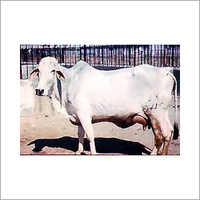 Best Quality Tharparkar Cow